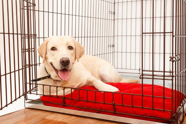 Golden retriever laying inside open crate